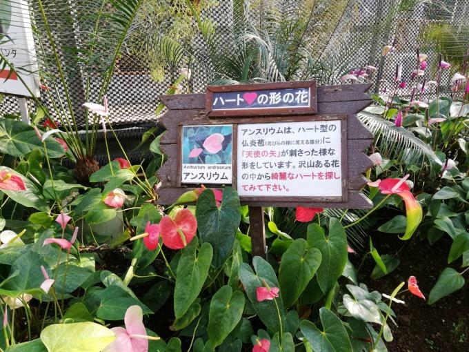 バナナワニ園アンスリウム
